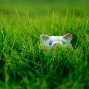 piggy-in-field